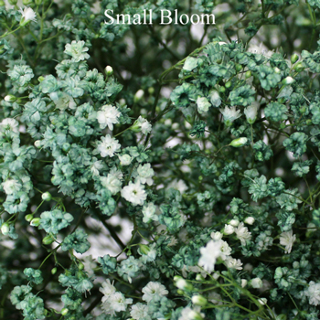 Seafoam Green Airbrushed Baby's Breath