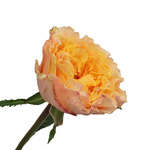 light orange campanella garden roses sold in wholesale bulk flowers