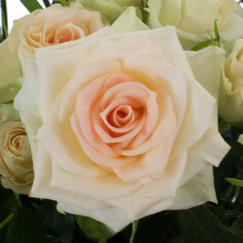 Light Peach Spray Roses up close