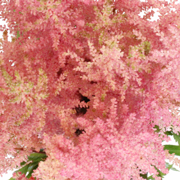 Pink Astilbe Flower November to April