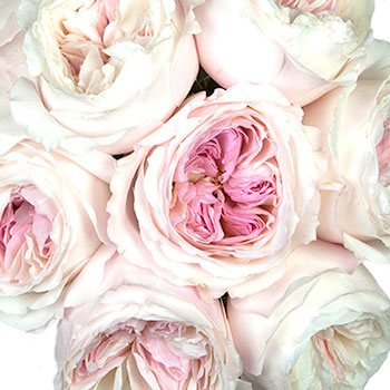 Light pink Keria David Austin Roses sold in bulk for wedding flowers