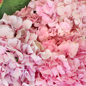 Hues of Pink USA Grown Hydrangea