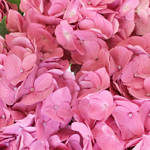 Light Pink Hydrangea Wholesale Flower Up close