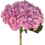 Light Pink Hydrangea Stem View