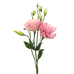 Lisianthus_Cut_Flower_Light_Pink