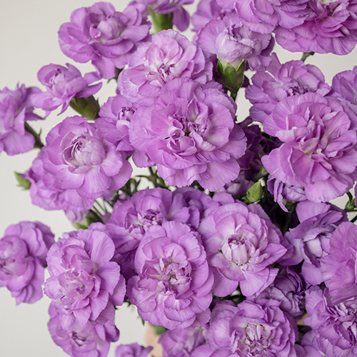 Moonberry Light Purple Mini Carnation Flowers