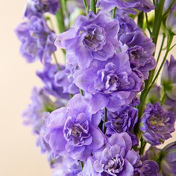 Light Purple Sky Delphinium Flower
