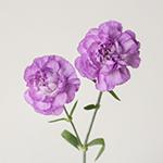 Light Purple Mini Carnation Stem
