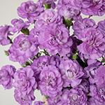 Light Purple Mini Wholesale Carnations Up close