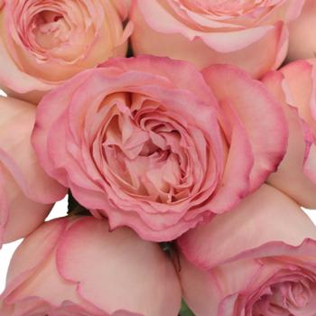 Make Me Blush Garden Rose