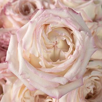 Make me Blush Garden Roses up close