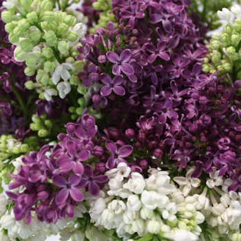 Premium White and Purple Lilac Flower Mix