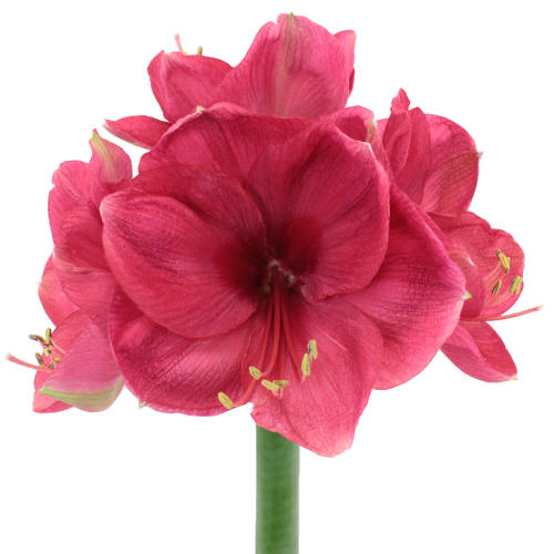 Pink Berry Amaryllis Flower