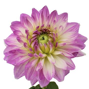 Lilac Star Dahlia Flower