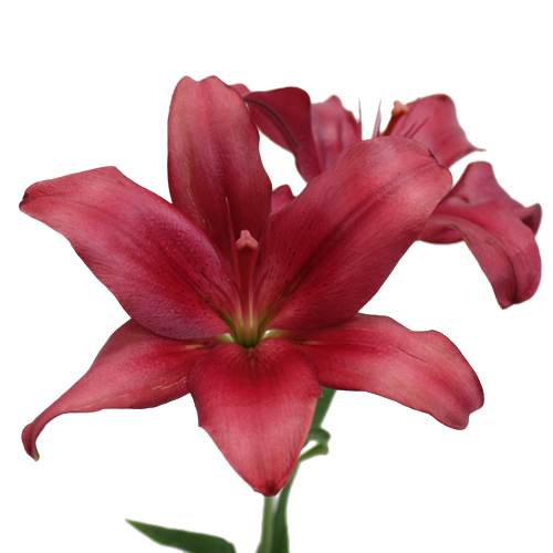 Cranberry Dust Hybrid Lily