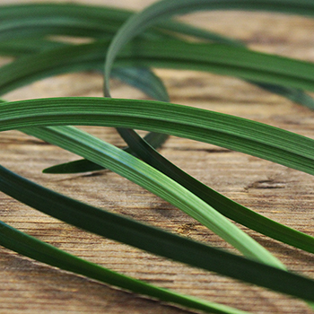 Fresh cut lily grass greenery sold near me for delivery