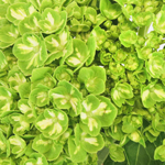 Lime Green Clover Hydrangea Wholesale Flower Up close
