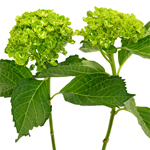Lime Green Clover Hydrangea Stem View