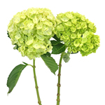 Lime Green Hydrangea Double Stem View