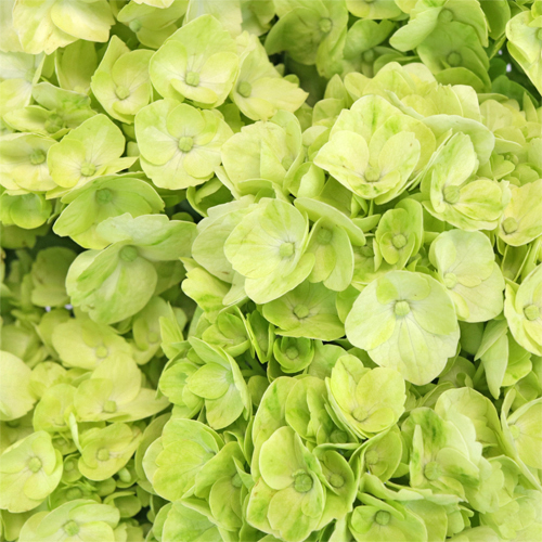Lime Green Hydrangea Wholesale Flower Up close