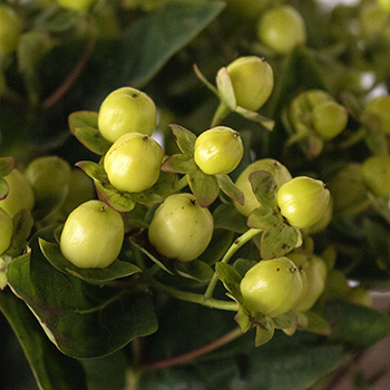 Lime green hypericum berry DIY wedding flowers