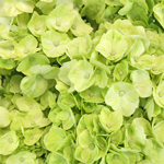 Lime Green Medellin Hydrangea Wholesale Flower Up close