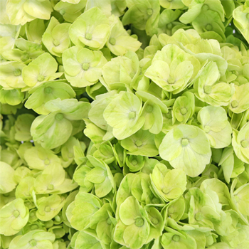 Hydrangea Lime Green Flower
