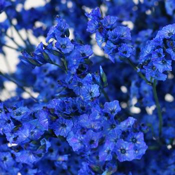 Patriotic Blue Airbrushed Limonium
