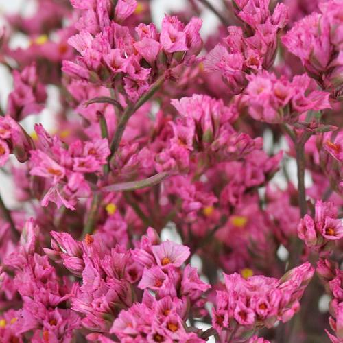 Rose Pink Enhanced Limonium