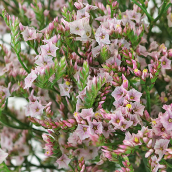 Limonium Pink Flower