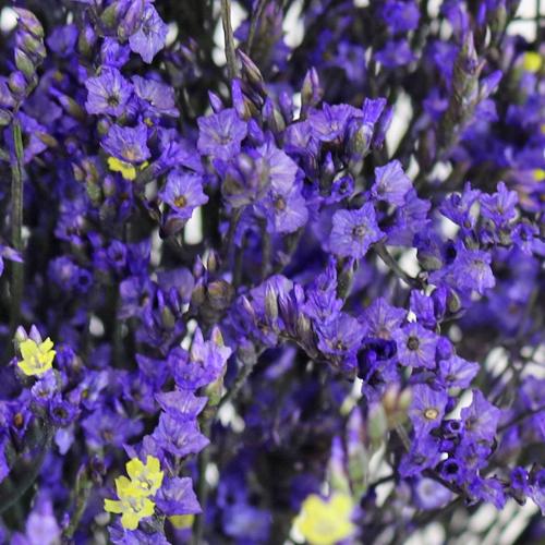 Purple Airbrushed Limonium Flower