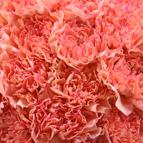 Lion King Peachy Red Wholesale Carnations Up close