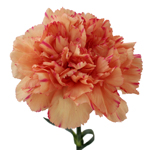 Lion King Peachy Red Carnations side stem