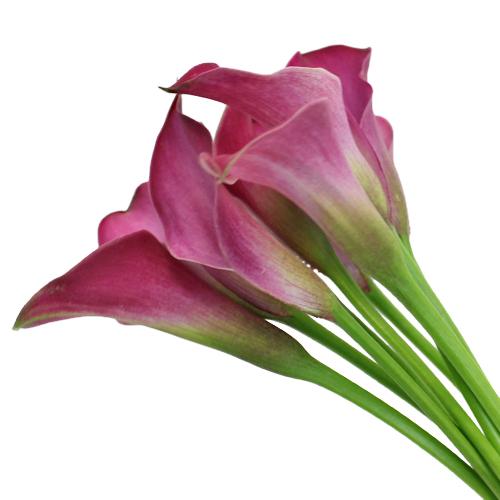 Dark Pink Calla Lily Flower