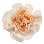 Lizzy Peachy Pink Champagne Carnation Flower Bloom