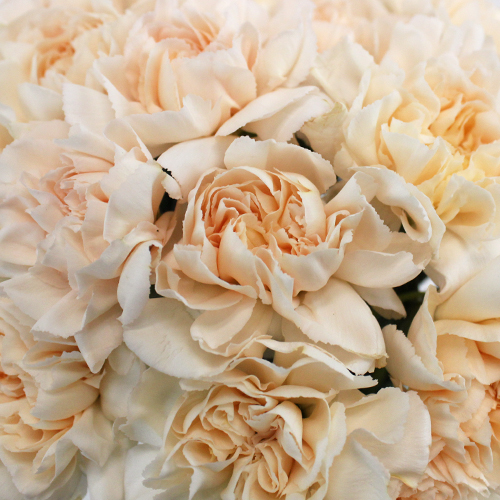 Lizzy Peachy Pink Champagne Wholesale Carnations Up close