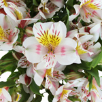 Look at that Alstroemeria Flower Up Close