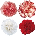 Love Pack Mixed Wholesale Carnations Up close