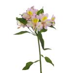 Lovely Lilac Peruvian Lily Alstromeria Flower Stem View