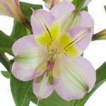 Lovely Lilac Peruvian Lily Alstromeria Flower Up Close