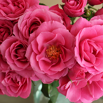 Lovely Lydia Hot Pink Spray Roses up close