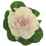 Kale Flower White