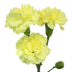 Bulk Yellow Mini Carnation Flowers