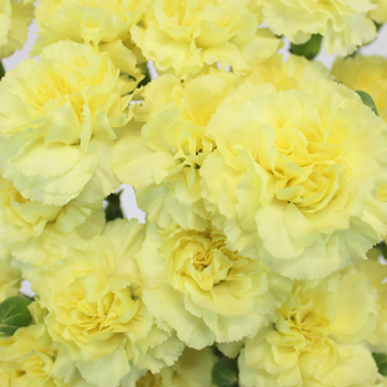 Bulk Butter Yellow Mini Carnation Flowers
