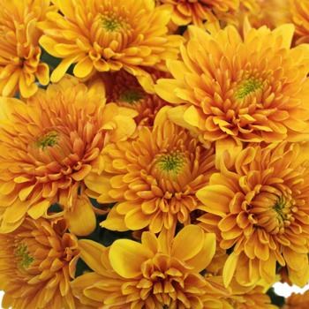 Brassy Yellow Dahlia Style Cushion Flower