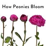 Magenta Kansas How Peonies Bloom