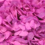 Magenta Enhanced Hydrangea Flower Up Close