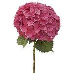 Magenta Hydrangea Flower Stem View