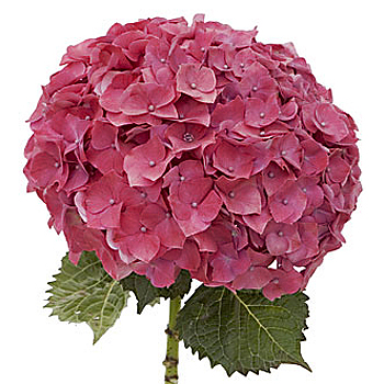 Magenta Hydrangea Flower Up Close