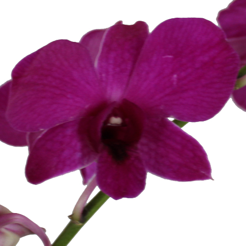 Magnetic Magic Double Orchid Lei